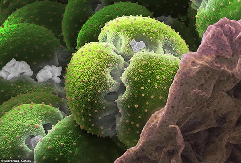 Пыльца крупным планом