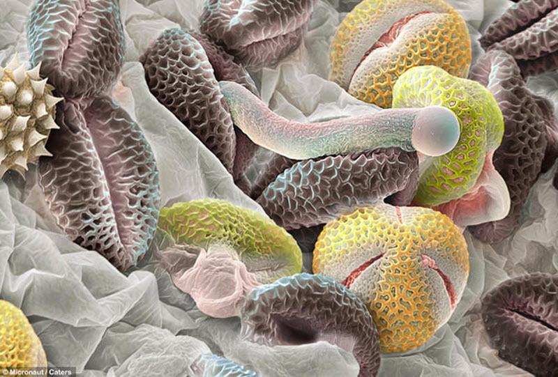 Серые гранулы – пыльцевые зерна от калины лавролистной. Одно из них начало превращаться в трубку, по которой сперма переходит в семязачаток завязи. Желтые гранулы – пыльца от других видов растений. (MICRONAUT / CATERS NEWS)