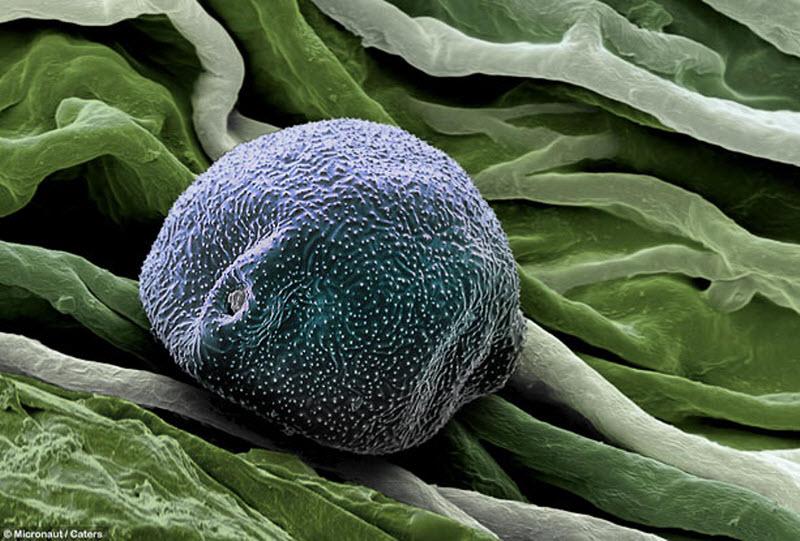Пыльца березы. Пыльца березы осыпается в период между мартом и маем, так что в апреле аллергикам не повезло больше всего. (MICRONAUT / CATERS NEWS)