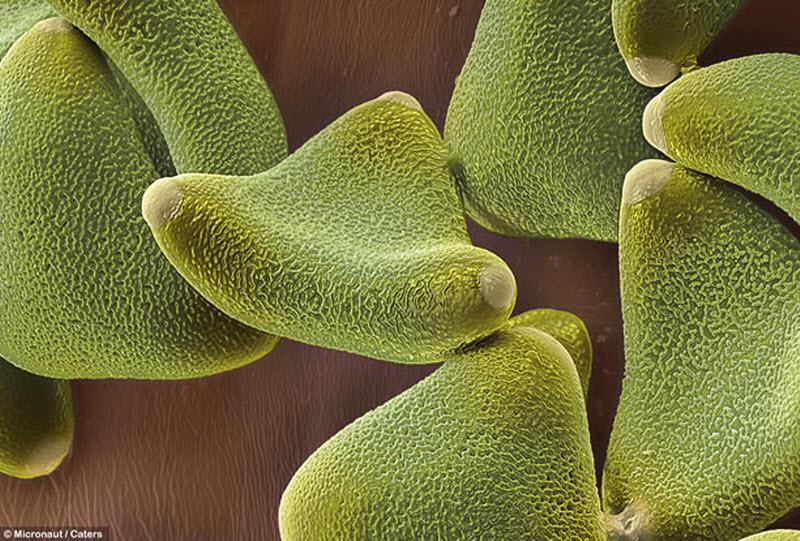 Пыльца леукофиллума имеет липкую оболочку, чтобы животные могли переносить ее. (MICRONAUT / CATERS NEWS)