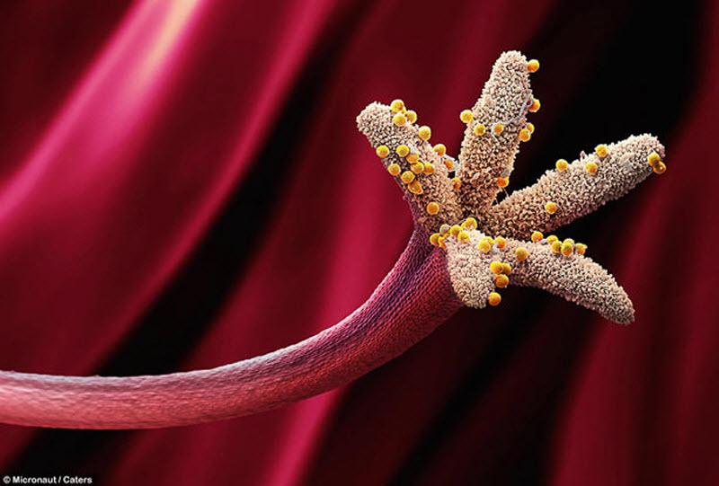 Зерна пыльцы на герани лесной. (MICRONAUT / CATERS NEWS)