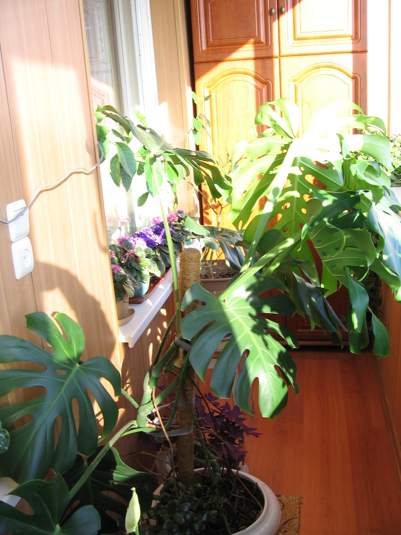 Фото комнатного цветка лиана