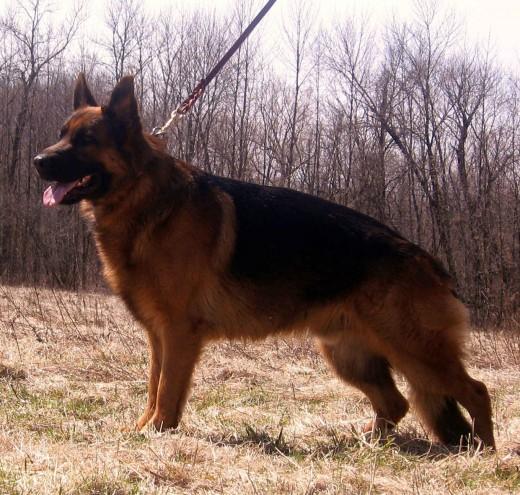 Немецкая овчарка - Опасная собака