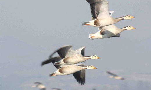 Горные гуси - самые высоко летающие птицы