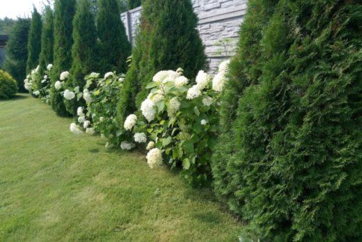 Как использовать флоксы и туи для украшения сада