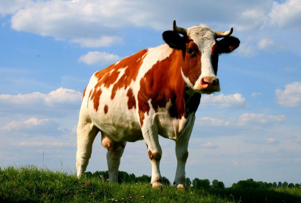 Интересные факты о коровах