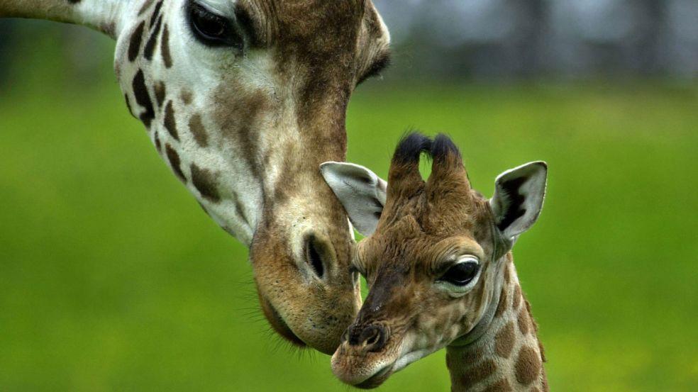 Откуда шея у жирафа