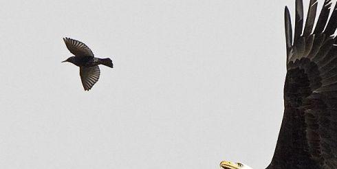 Охота белоголового орлана (фото)