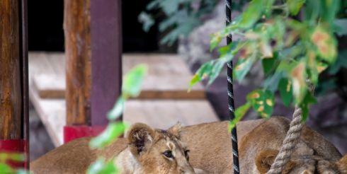В Московском зоопарке родились львята