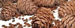 Кедровые орешки россыпью и в шишке