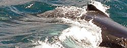 У берегов Нью-Йорка поселились полсотни горбатых китов