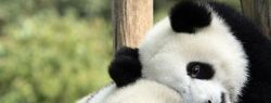 Панды: самцы и самки не живут вместе