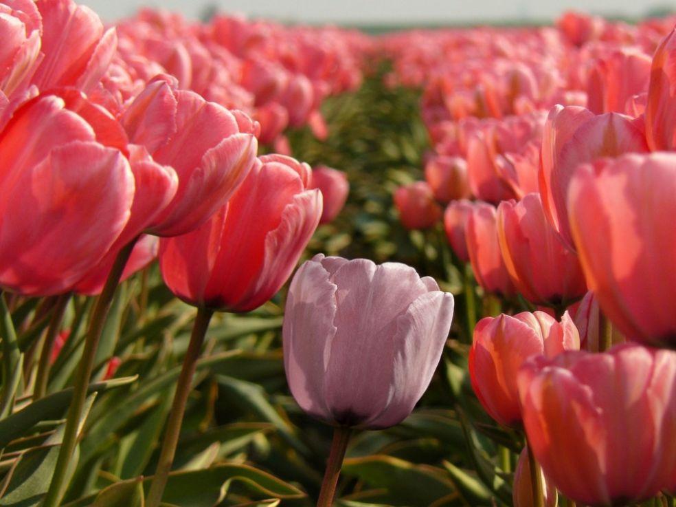 Тюльпаны в России