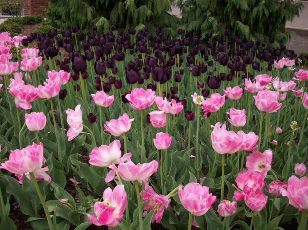 Тюльпаны спасение от голода