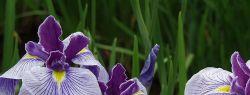 Ирис – цветочная радуга