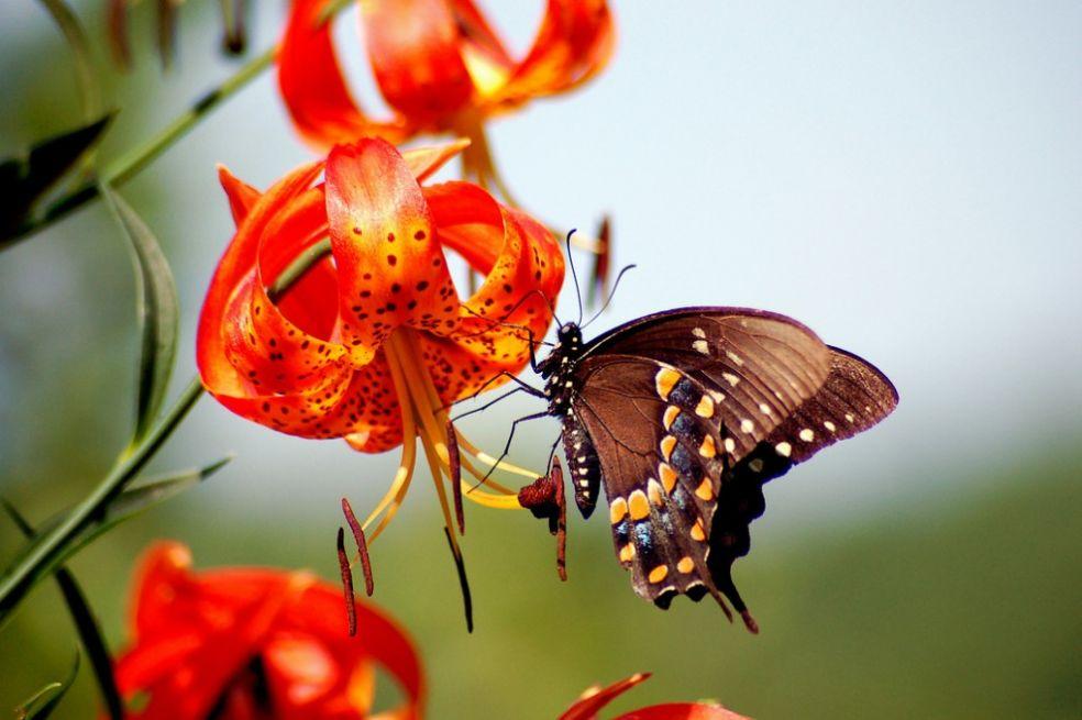 Бабочка в Кингстоне, США