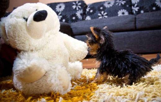 Терьер Мейси самая крошечная собака в мире